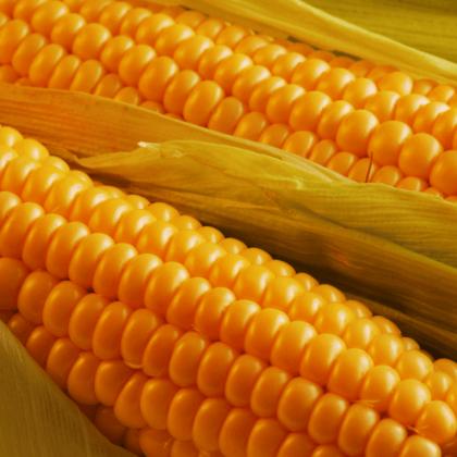 Гибриды кукурузы
